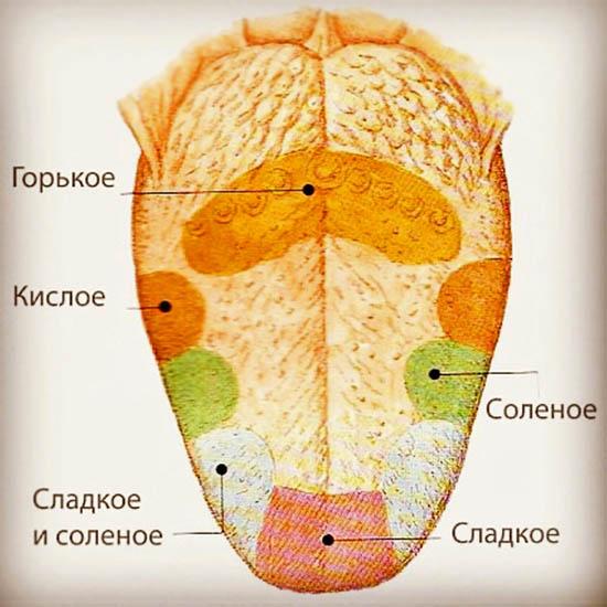 Вкусовые рецепторы на языке человека